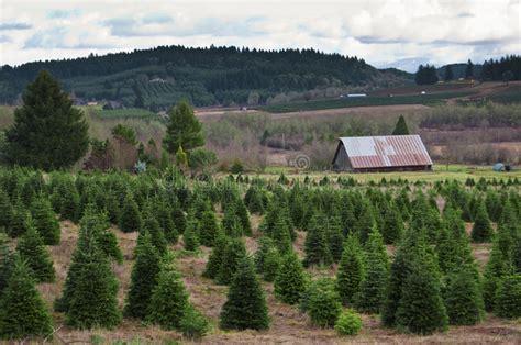 oregon christmas tree growers oregon tree farm stock photo image of growing 12286158