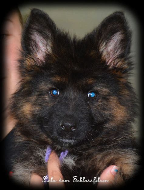 german shepherd puppies nebraska coat german shepherd puppies hair german shepherd puppies nebraska woof