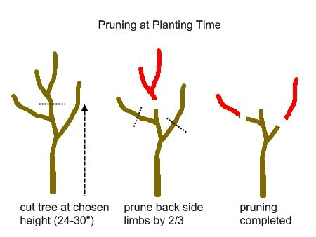 what time of year do you plant fruit trees backyard orchard culture green permaculture