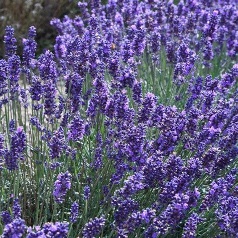 lavender seeds lavandula angustifolia english lavender