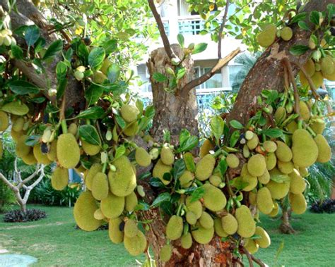 Bibit Markisa Manis 马来西亚一号菠萝蜜苗 菠萝树苗 四季菠萝蜜树苗 嫁接四季菠萝树 苗木批发1号 第一苗木站