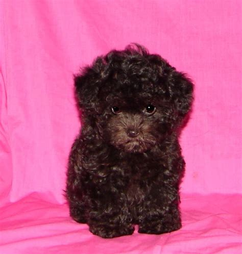 teacup puppies sale mississippi maltipoo puppies mississippi breeds picture