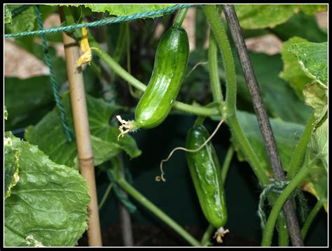 Cucumber Garden by How To Grow Cucumbers The Garden Of Eaden