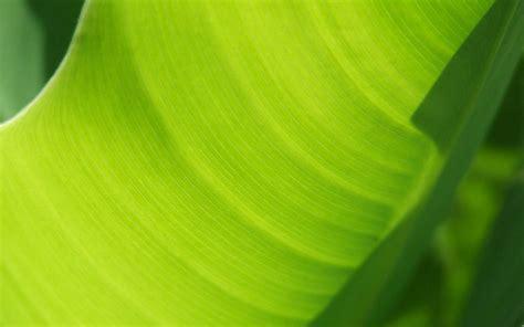 banana tree wallpaper download banana tree leaf wallpapers 1680x1050 338510