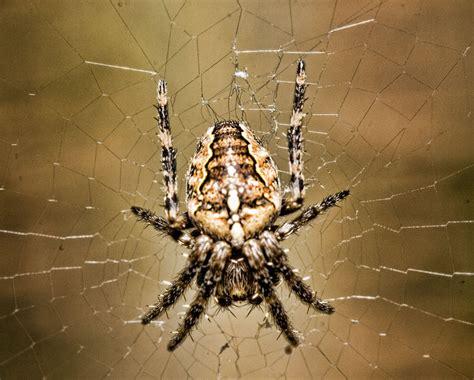 White Garden Spider Uk Does The Garden Spider Cross Spider Bite The False
