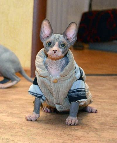 how to care for a caring for a sphynx kitten learn and apply