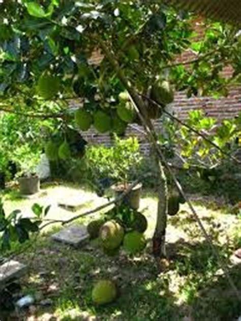 Tanaman Nangka Mini cara budidaya buah nangkadak dan nangka mini berbagai