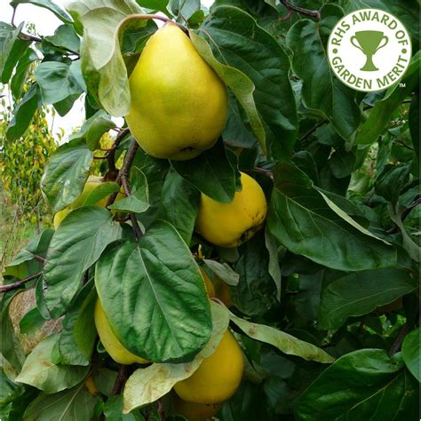 buy fruit trees uk quince vranja buy quince tree purchase quince fruit trees