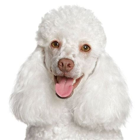 popular poodle names poodle names your boy puppy will