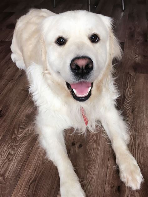 golden retriever looking for a home cutest golden retriever looking for loving home bromley kent pets4homes