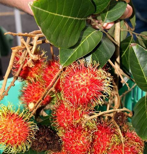 khasiat tanaman obat tradisional rambutan nephelium