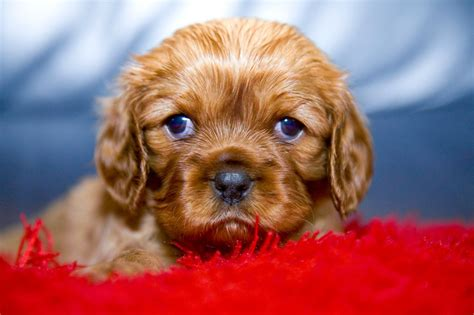 ruby cavalier king charles spaniel puppies for sale cavalier king charles spaniel ruby for sale oldham greater manchester