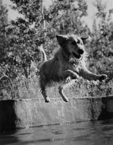 bruce weber golden retriever photos 71 best golden retrievers jumping images on golden retrievers golden