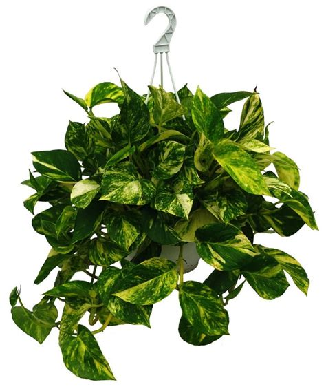 best 10 air purifying plants with nasa ratings blog 10 air purifying plants for your home office