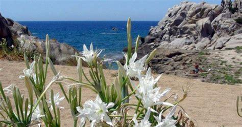 fiore il giglio giglio di mare fiore sacro delle spiagge calabresi