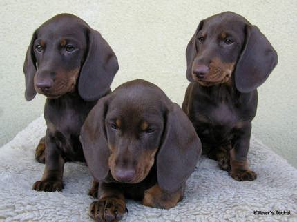 dackel suchen ein zuhause dackel welpen und junghunde suchen ein neues zuhause in