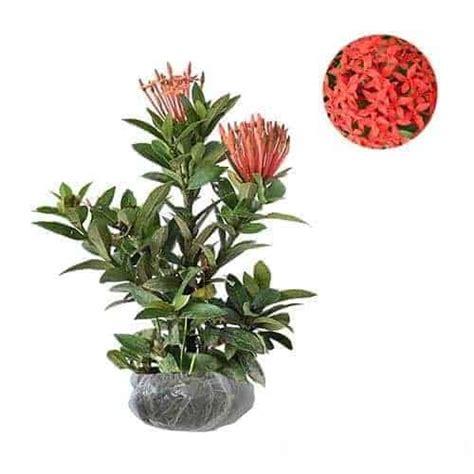 Tanaman Soka Merah Jepang jual tanaman soka merah jepang ixora bibit