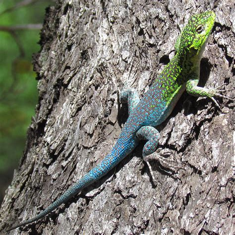 Do Anoles Shed Their Skin by Do Lizards Shed Their Skin Like Snakes We Animals Worms Are Not Worms At All Or