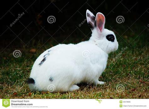 34 Punny White rabbit stock image image of bunny rabbit spots