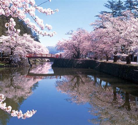 imagenes de sakura japon el hermoso espect 225 culo de los cerezos en flor en jap 243 n