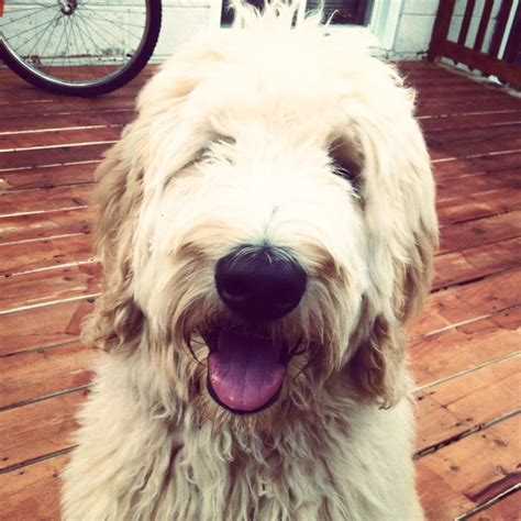 goldendoodle puppy fur 39 best images about like my fur baby pippin the
