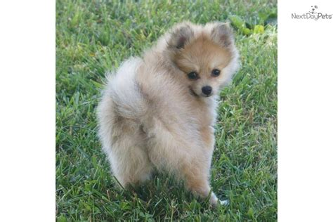dogs 101 pomeranian pomeranian 101 breed info pawnation breeds picture