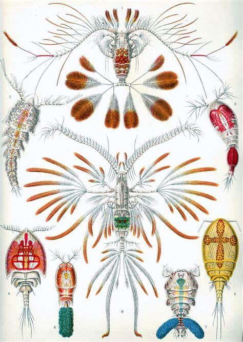 libro ernst haeckel 97 file haeckel copepoda jpg wikimedia commons