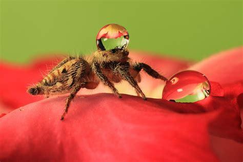 Spiders Wearing Water Droplets as Hats   Uda DennieSteve's