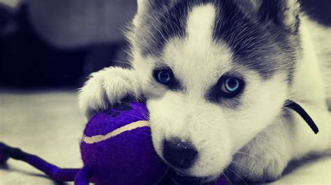 puppy wallpaper hd siberian husky puppy hd wallpaper welcome to starchop