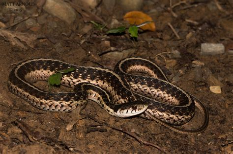 Garter Snake Alabama by Field Herp Forum View Topic Late Early Summer