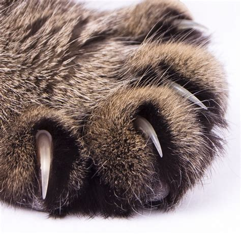 In The Claws Of The Cat claw revealing paws