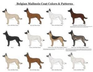 belgian sheepdog as guard dog image gallery malinois colors