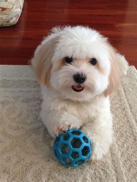 havanese coton de tulear 25 best ideas about coton de tulear on small puppy breeds small