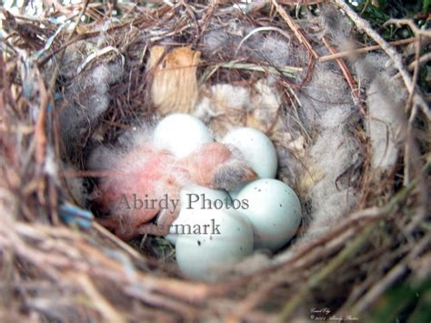 house finch baby birds yellow finch eggs images