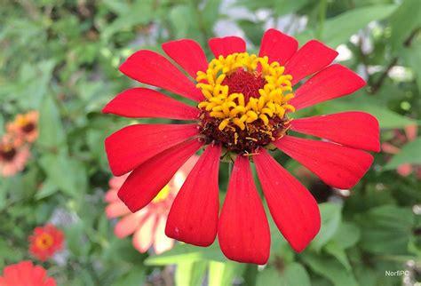 imagenes de flores solitarias fotos de las flores del clavel 243 n