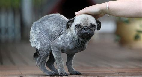 rescued pugs pug rescued from owners who forced it to inhale marijuana smoke softpedia