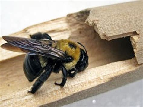 get rid of carpenter bees vancouver local pest control