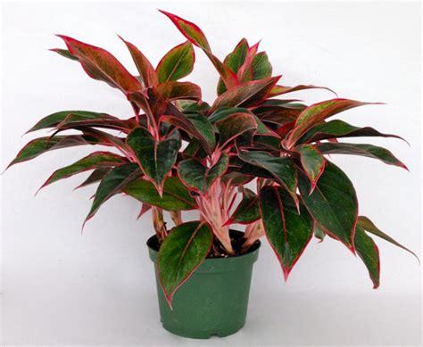 Tanaman Hias Aglonema aneka jenis tanaman hias daun indoor dan outdoor tanaman