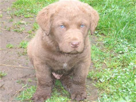 chesapeake puppies for sale akc chesapeake bay retriever puppies for sale farnell farm purebred registered