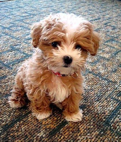 Maltipoo Shed by Top 5 Breeds That Don T Shed Doggie Health