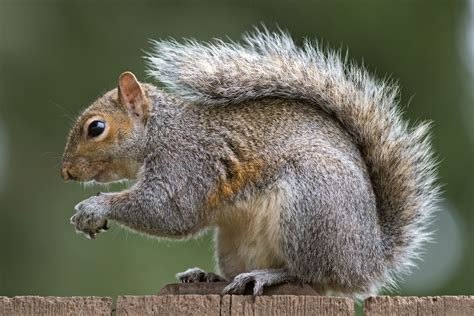 squirrels facts about squirrels passnownow com