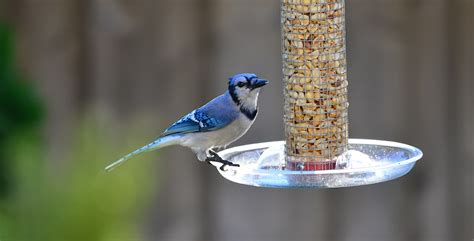 do blue jays like peanuts southern ontario s september migrations bird canada