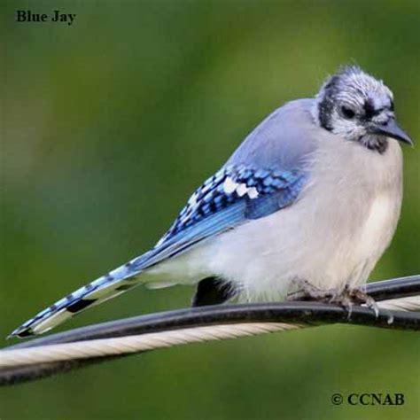 blue birds birds by color north american birds birds