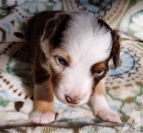puppies for sale in nh mini australian shepherd puppies for sale in warner new hshire classified
