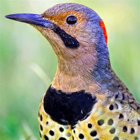 northern flicker bird call iphone ringtone wildtones