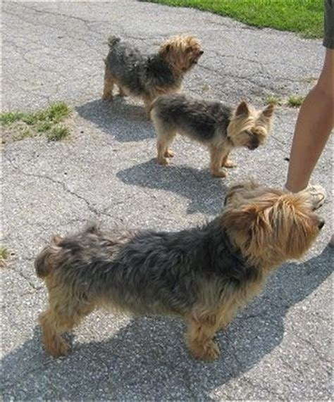 how do yorkies get how big do yorkies get breeds picture