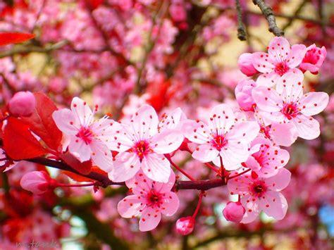 wallpaper bunga sakura cantik gambar bunga sakura related keywords gambar bunga sakura