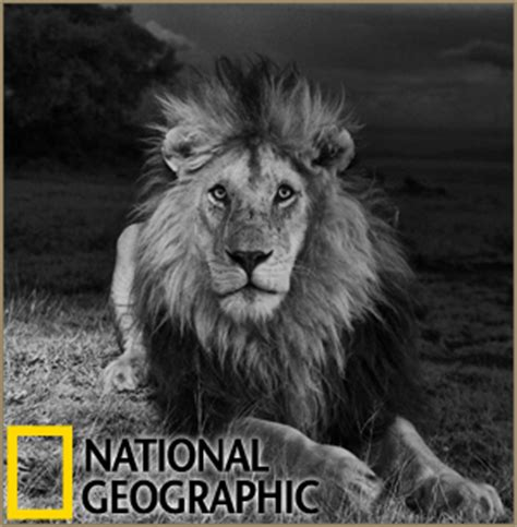 the serengeti lion: an exquisite national geographic