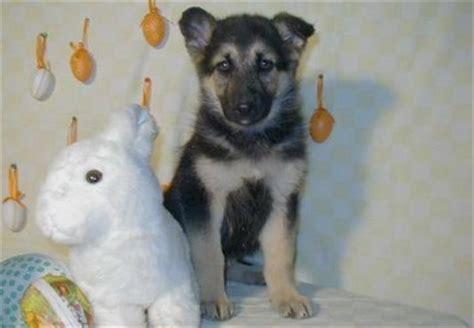 Duitse Herder pups, te koop Beschrijving , karakter ...