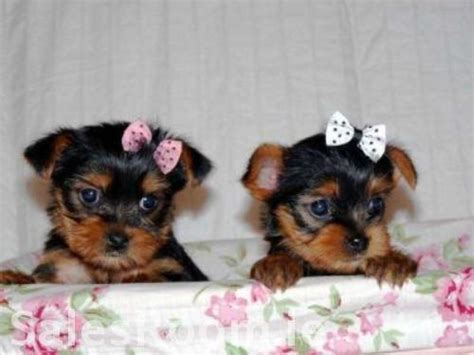 caring for newborn yorkie puppies and loving yorkie puppies for adoption glade fl asnclassifieds